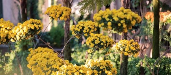 2019201 Longwood Gardens Chrysanthemums