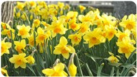 2019081 Nantucket Daffodil Weekend