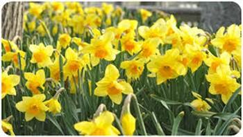 2021098 Nantucket Daffodil Festival